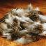 英國松雞軟簑毛